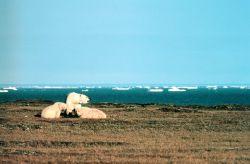Polar Bears on Barter Island Photo