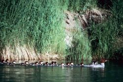 Common Merganser Brood Photo