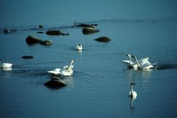 Tundra Swans on Water Photo
