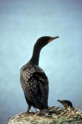 Double-crested Cormorant Photo