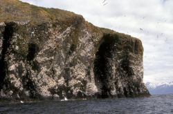 Black-legged Kittiwake Colony Photo