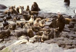 Fur Seal Colony at Haulout Photo