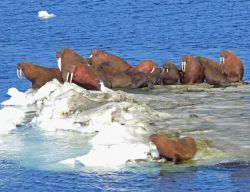 Walrus on Bering Sea Ice Photo