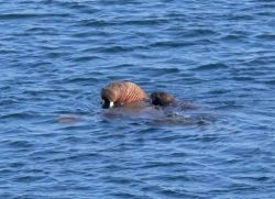 Walrus giving pup a ride Photo