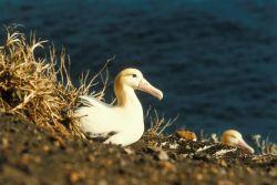 Short-tailed Albatross on Nest Photo
