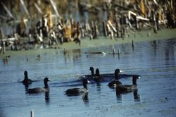 American Coot Flock Photo