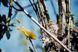 Warbler and Nest Photo