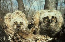 Great Horned Owl Chicks in Nest Photo