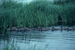 Canada Goose and Brood in Water Photo