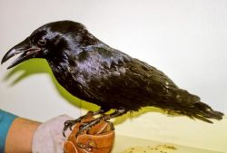 Raven in Hand Photo