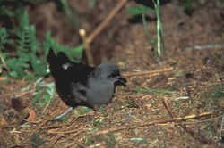 Leach's Storm-Petrel Photo