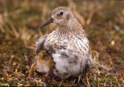 Least Sandpiper and chick Photo