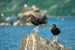Black Oyster Catchers Photo