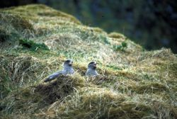 Northern Fulmar nesting, Chaguluk Island Photo