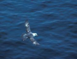 Northern Fulmar in flight Photo