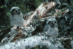 Northern Hawk Owl Chicks Photo