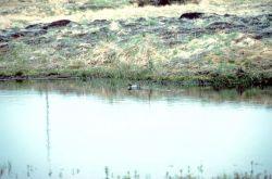 Garganey Duck Photo