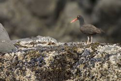 Black Oystercatcher, Peninsula Island Photo