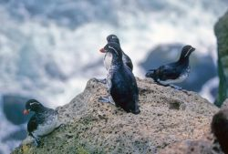 Parakeet Auklets Photo