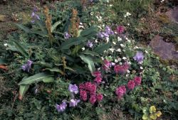Hall Island wildflowers, Lousewort, Jacobs ladder Photo