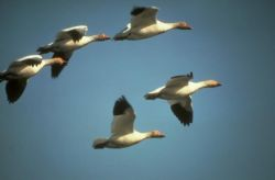 Snow Geese in Flight Photo