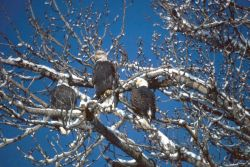 Bald Eagles in Tree Photo