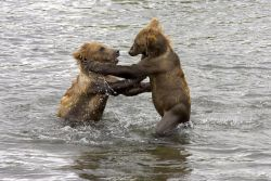Brown Bear Cubs Playing in Water Photo