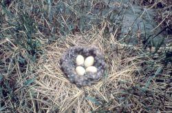 Brant Nest Photo