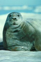 Bearded Seal Portrait Photo