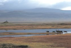 Caribou Herd Photo