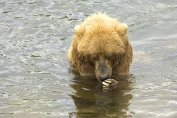 Brown Bear in Water Photo