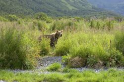 Brown Bear in Tall Grass Photo