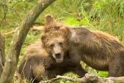 Brown Bear Cubs Playing Photo