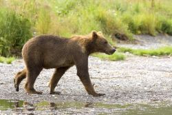 Brown Bear Cub Photo