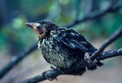 Baby Grackle Photo