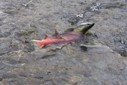 Salmon in Stream Photo