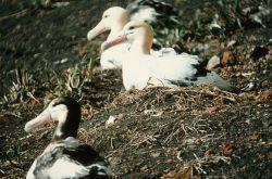 Short-tailed Albatross Nesting Photo