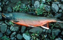Dolly Varden Char Photo