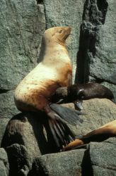 Steller Sea Lion and Pup Photo