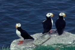 Horned Puffin Trio Photo