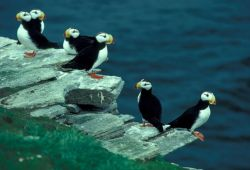 Horned Puffins on Puffin Island Photo