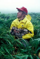 Aleutian Cackling Goose with Biologist Photo