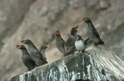 Crested Auklet Group on Cliff Rocks Photo