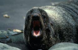 Fur Seal Portrait Photo