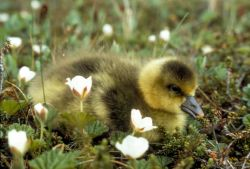 White-fronted Goose Gosling Photo