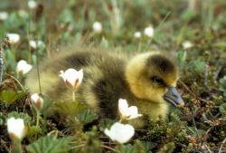 White-fronted Goose Gosling Photo