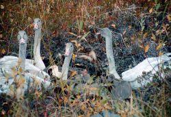 Trumpeter Swan Cygnets Photo