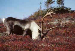 Caribou Feeding Photo