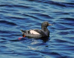 Pigeon Guillemot Photo