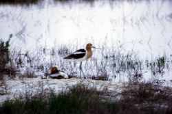 American Avocet Pair Photo